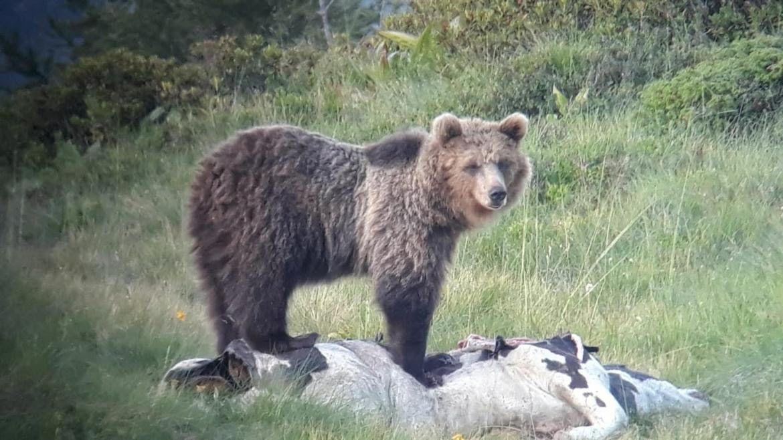 Italien/ Trentino/ Bär