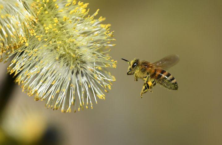 Honigbiene (Archiv): schlechte Pollenqualität bedeutet niedrigere Lebenserwartung