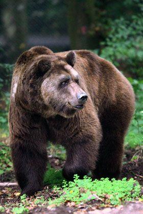 Rausch im Blätterwald: Nach dem Genuss von gegorenem Fallobst sollen Braunbären weniger Scheu vor Menschen haben.