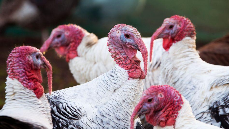 Truthähne im britischen Camelon: Die Vogelgrippe breitet sich auch auf der Insel auf