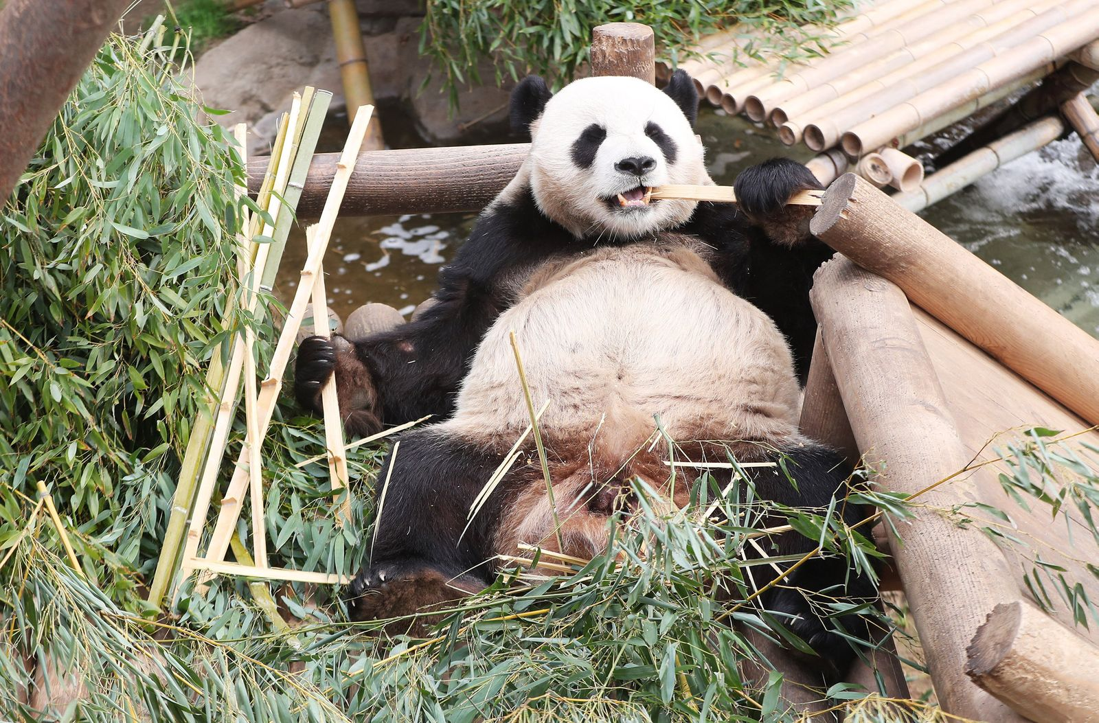 Großer Panda Le Bao
