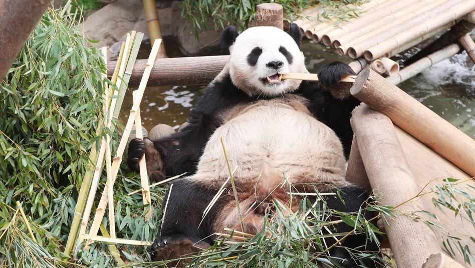 Le Bao futtert einen Bambuszweig: Das Männchen ist der Vater des Panda-Babys