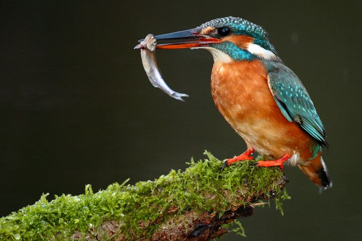 Kingfishers can be spotted all over Germany -- wherever there are natural streams or rivers.