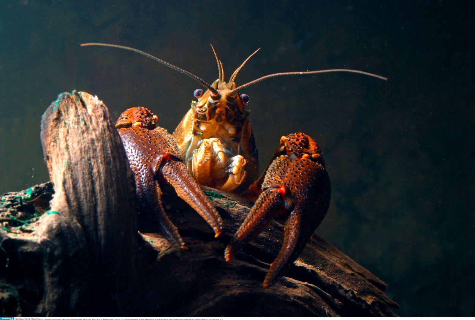 Edelkrebs, Edel-Krebs, Flusskrebs, Fluss-Krebs, Europaeischer Flusskrebs, Astacus astacus, noble crayfish
