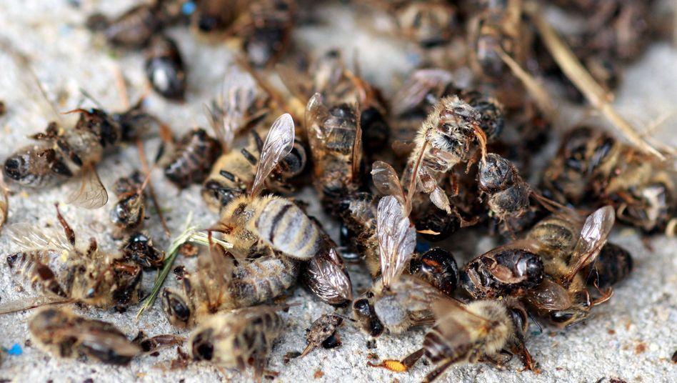 """Tote Bienen (in Freiburg, 2008): """"In Konsequenzen und Dimension unterschätzt"""""""