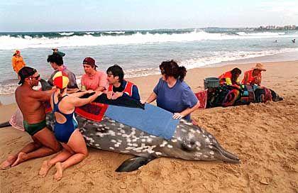 In Australien gestrandete Schnabelwale (Archivfoto): Zu viel Stickstoff im Blut?