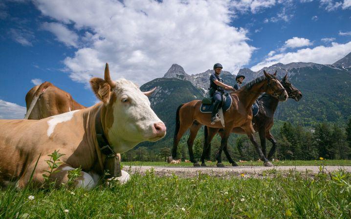 Reiterstaffel im Wettersteingebirge: Das Gras plätten dürfen offiziell nur Kühe