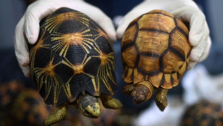 Beschlagnahmt in Kuala Lumpur: Seltene Schildkröten
