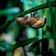 Laute Zikaden lösen Notrufe aus