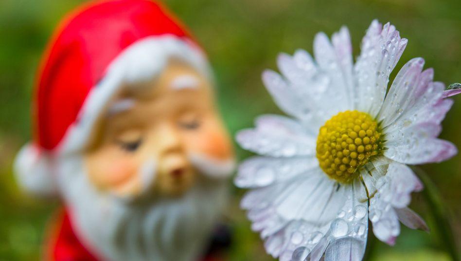 Blühende Wiesen: Weihnachtsfigur neben Gänseblümchen auf einer Wiese in einem Kleingarten in Frankfurt an der Oder, Mitte Dezember.