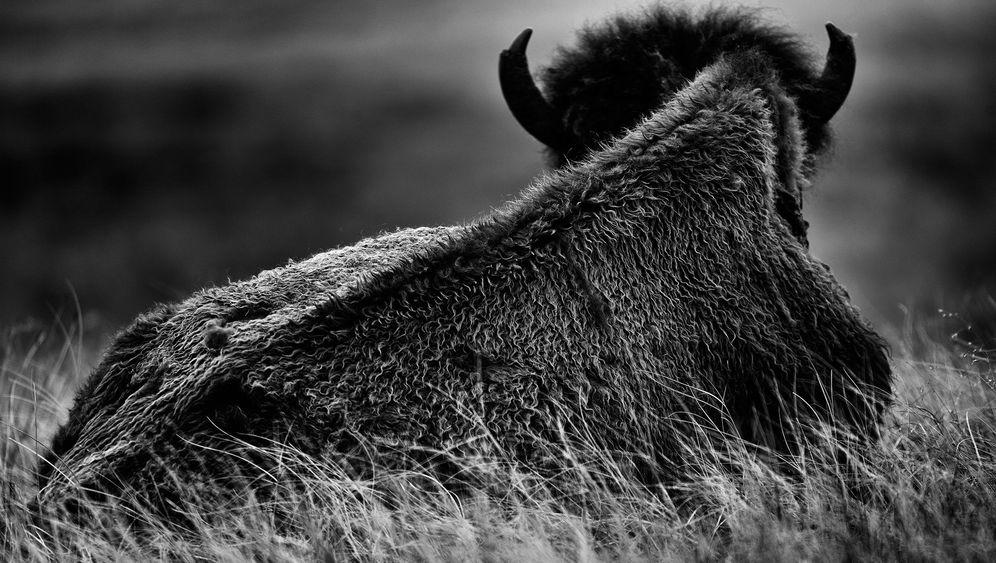 """Bildband """"Buffalo Ballad"""": Eine amerikanische Ikone"""