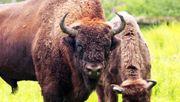 Zerstören Ur-Rinder den Wald?