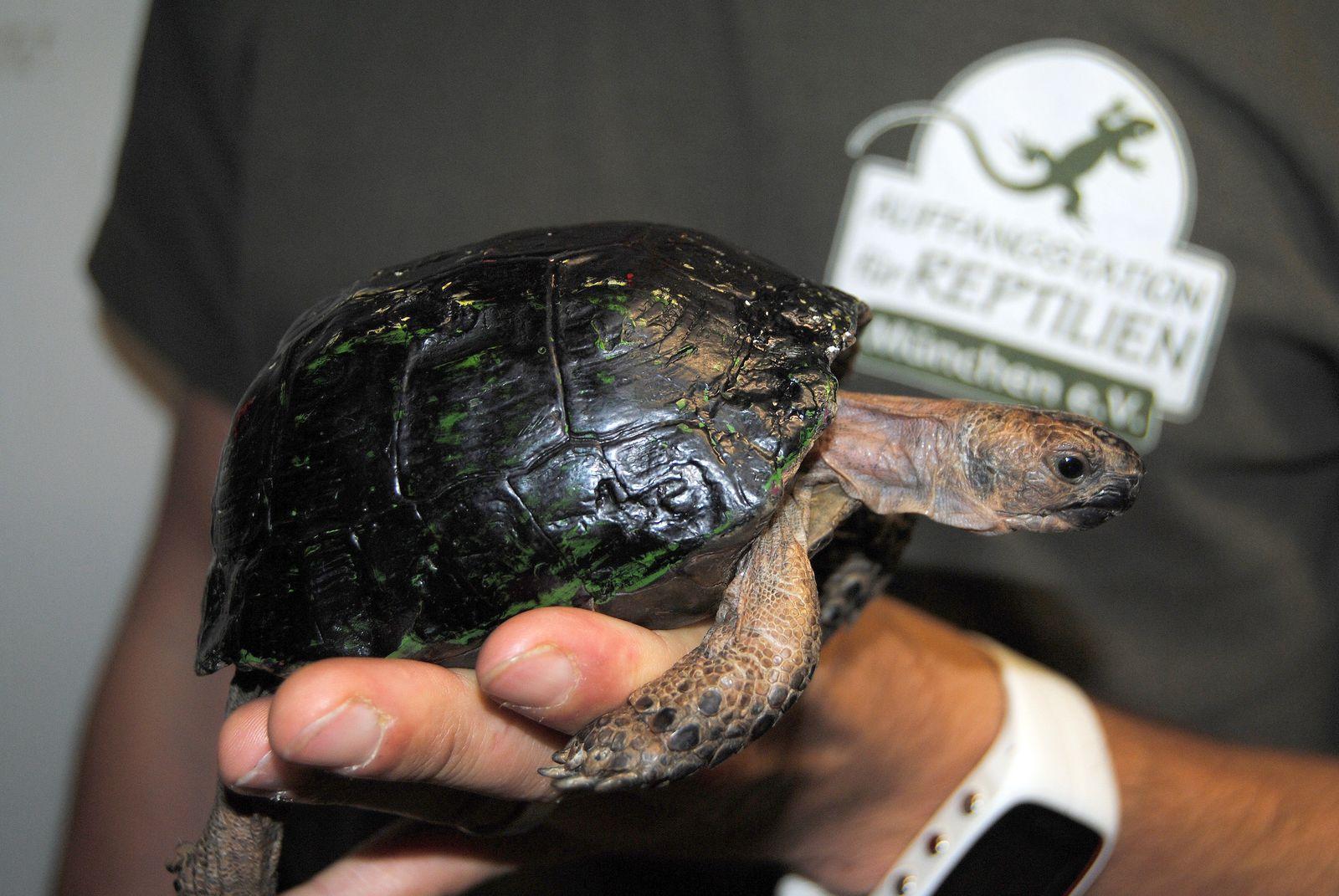 EINMALIGE VERWENDUNG Schildkröte Flüchtling