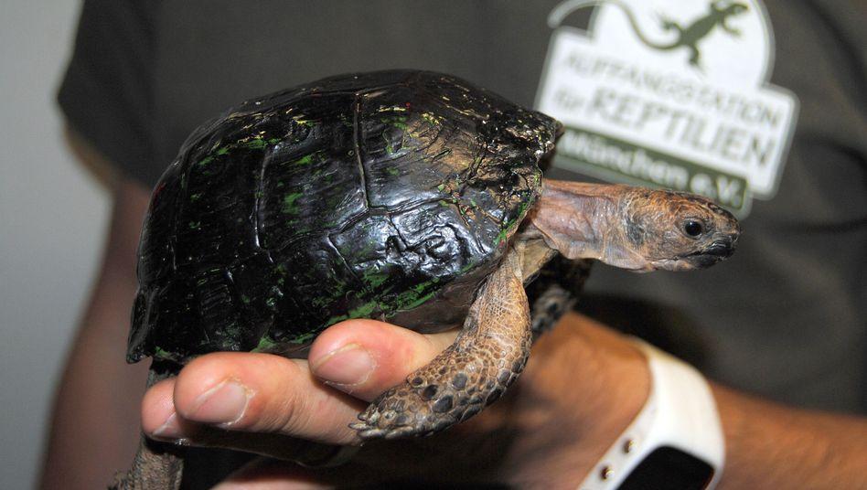 """Maurische Landschildkröte: """"Das Wohl des Tieres nicht aus dem Auge verlieren"""""""