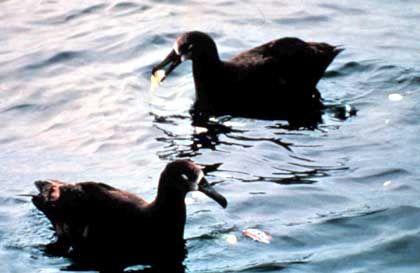 Albatrosse im Plastik-Müll: Teppich der Größe Mitteleuropas