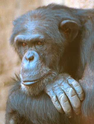 Schimpanse: Gene von Mensch und Affe sind nahezu identisch