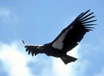 Flug in Freiheit: 100 Kalifornische Kondore haben es geschafft