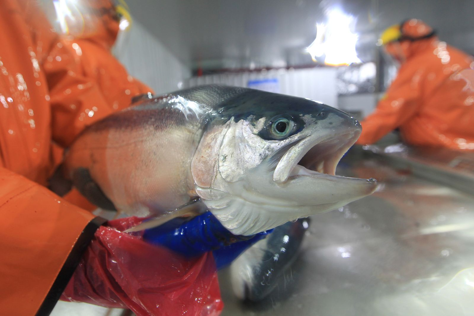 A worker holds a salmon inside a salmon hatchery in Puerto Montt, Chile