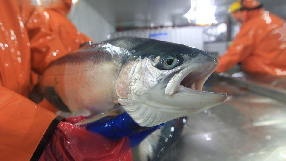 Lachs in einer Fischfabrik in Puerto Montt in Chile: 26 Prozent der weltweiten Produktion kommen aus dem Land