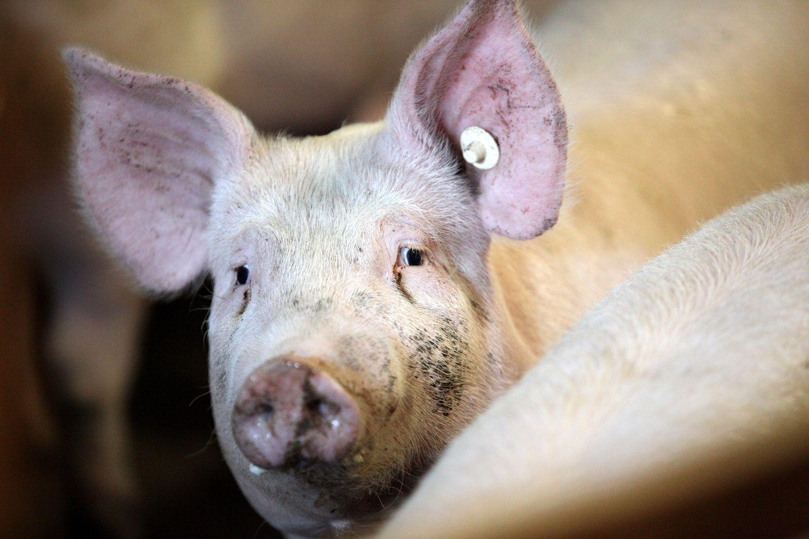 Schwein / Dioxin / Tierfutter / Mast