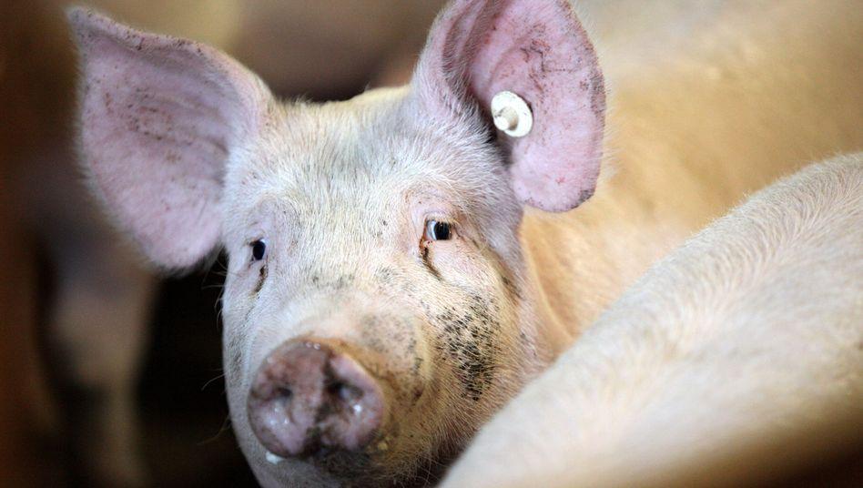 Schweinemast: Grenzwerte in Niedersachsen überschritten