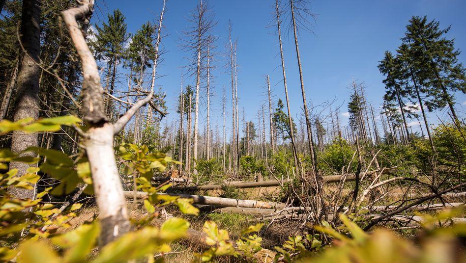 Wald mit Borkenkäfer-Befall in der Sächsischen Schweiz. Wegen der Dürresommer 2018 und 2019 fehlen laut Experten rund 200 Liter Wasser pro Quadratmeter - das stresst die Bäume, Schädlinge breiten sich aus