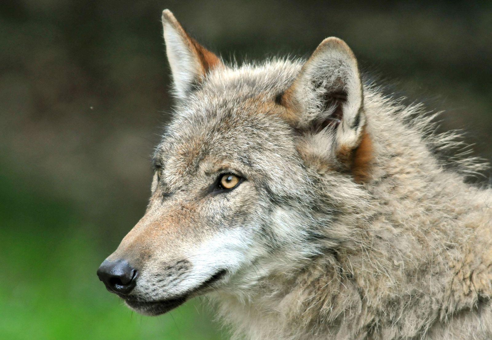 Videobeweis: Wolf tötet Ziegen im Kreis Lippe