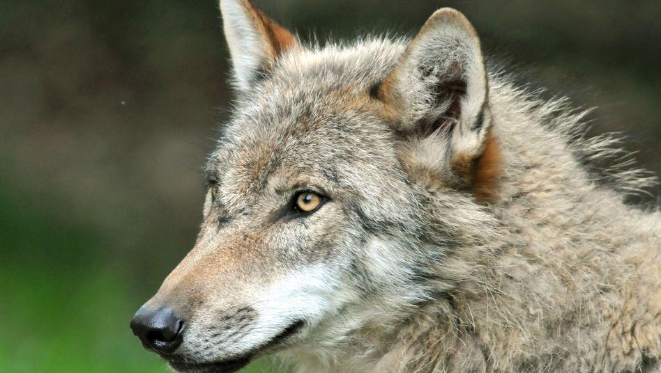 Wolf (Foto vom Mai 2009 aus dem Tierpark Sababurg in Hessen)