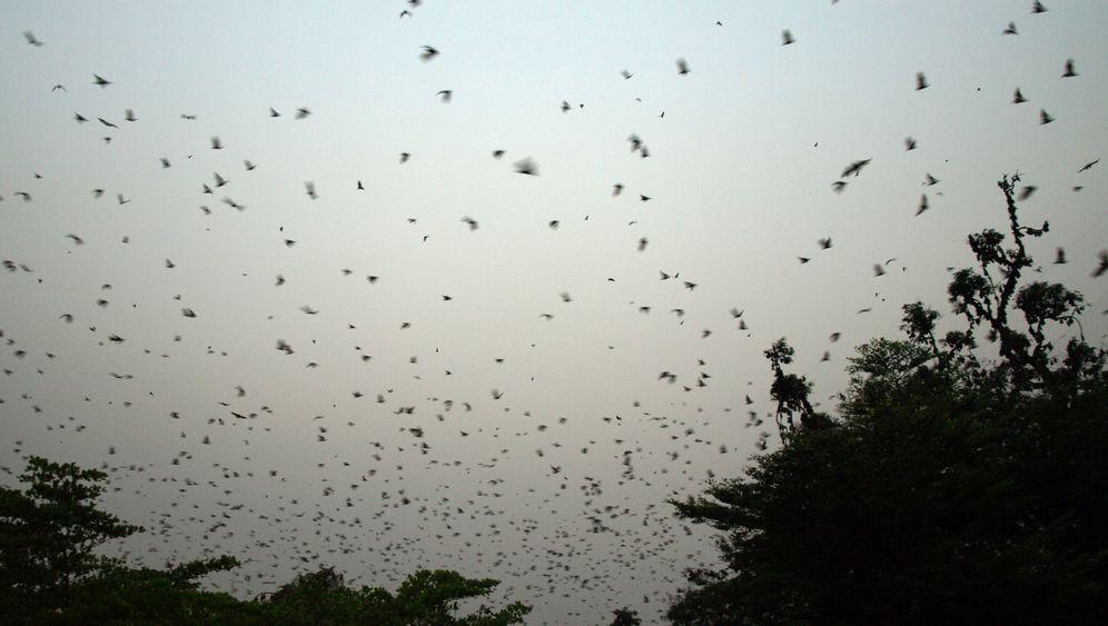 Fledermäuse: Viren fliegen immer mit