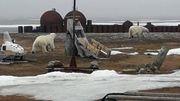 Wieder Eisbären-Alarm am Nordpolarmeer