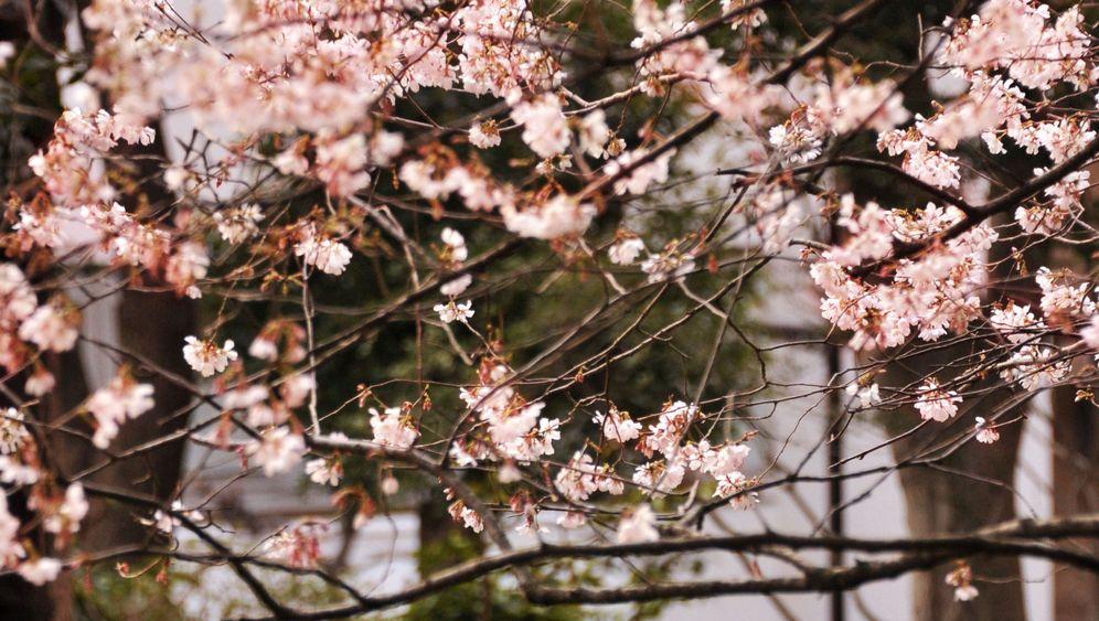 Kirschblüte in Tokio: Rosarote Ausblicke