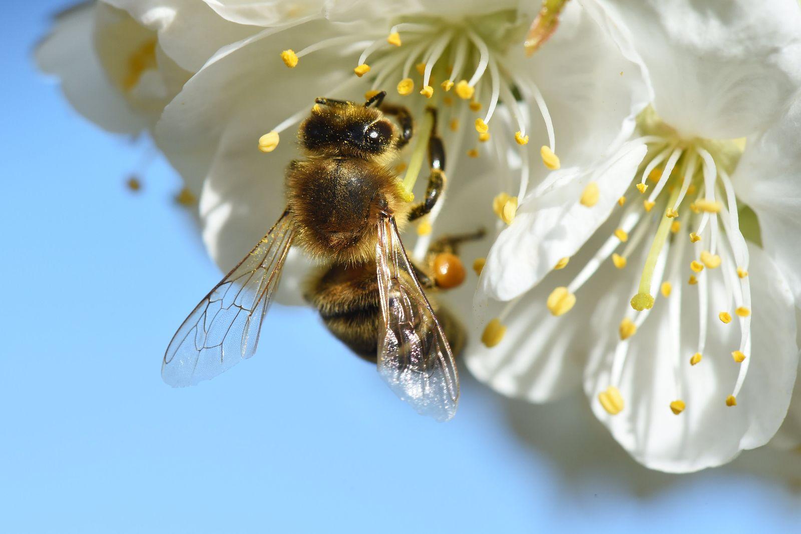 Kirschblüte lockt Bienen an
