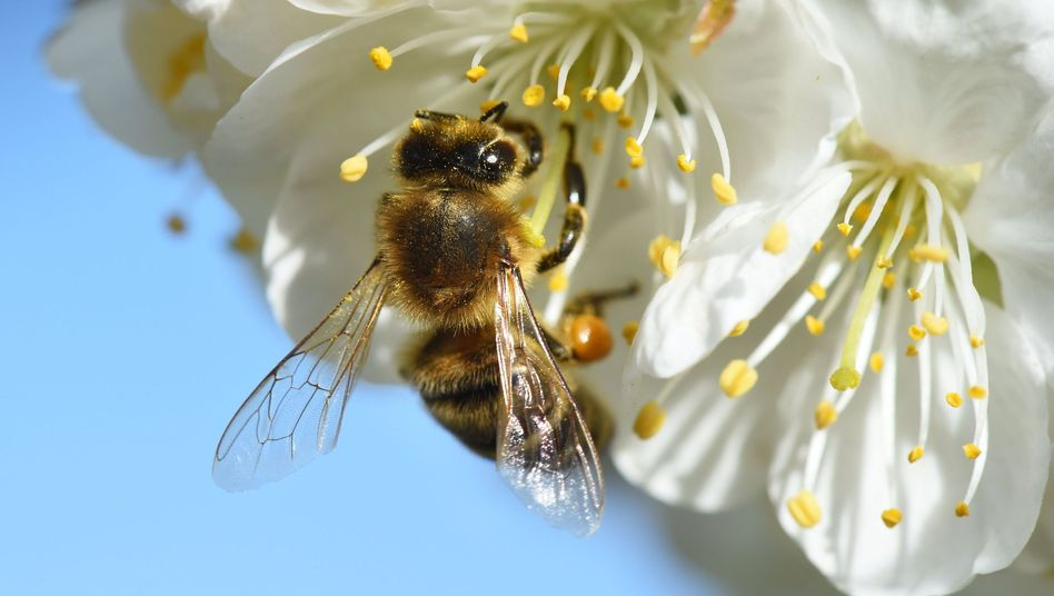 Biene auf einer Kirschblüte am Bodensee: Ohne Bestäubung gehen die Obstbauern bei der Ernte leer aus