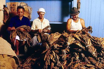 Tabakfarm in Pinar del Rio: Arbeiter bereiten Tabakblätter für die weitere Verarbeitung vor