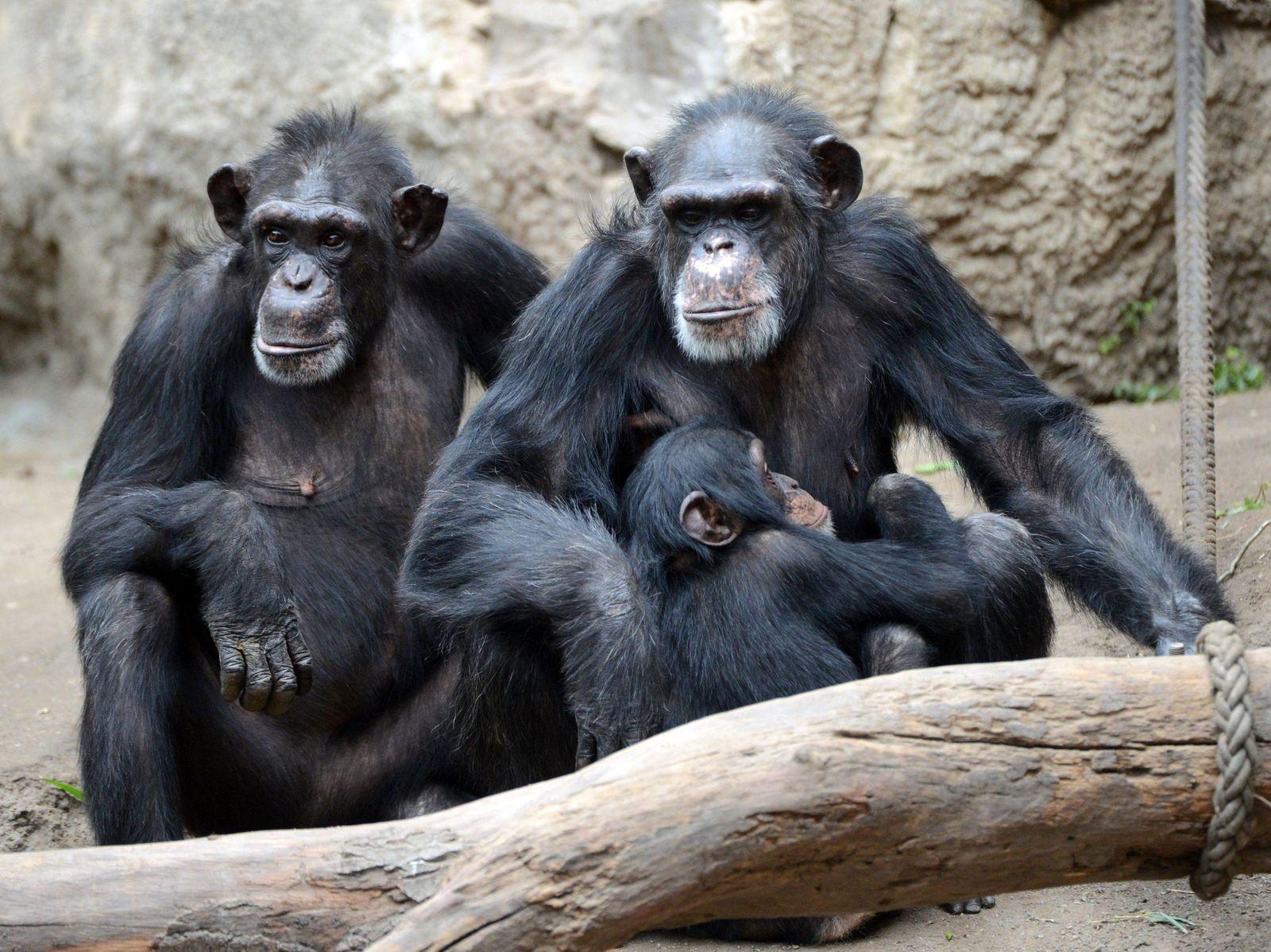 Schimpansen/ Intelligenz