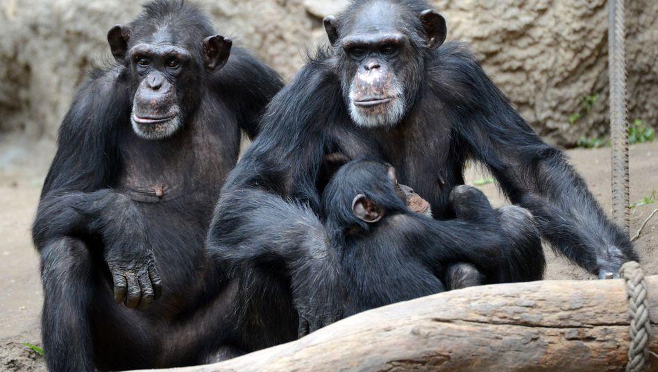 Schimpansen (Archivbild): Simple Story nach einmaligem Anschauen verstanden