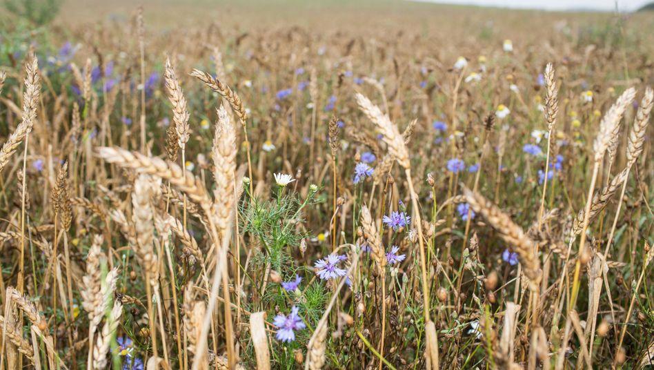 Getreidefeld mit Wildkräuterpflanzen