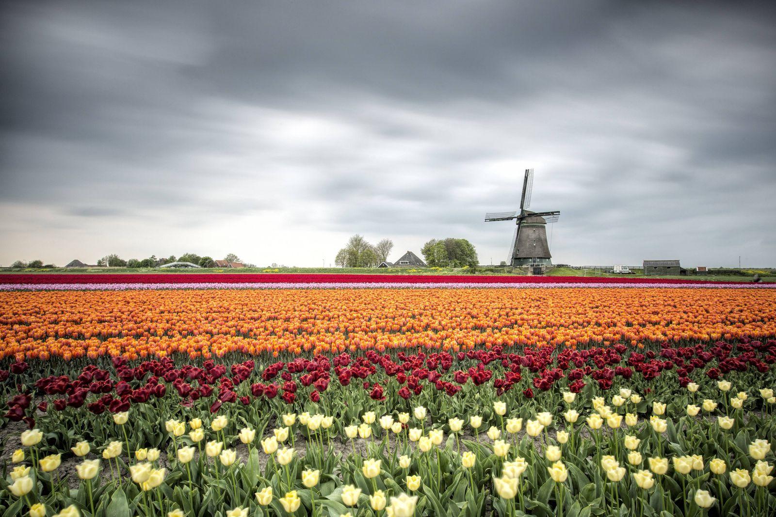 EINMALIGE VERWENDUNG Tulpen/ Europa