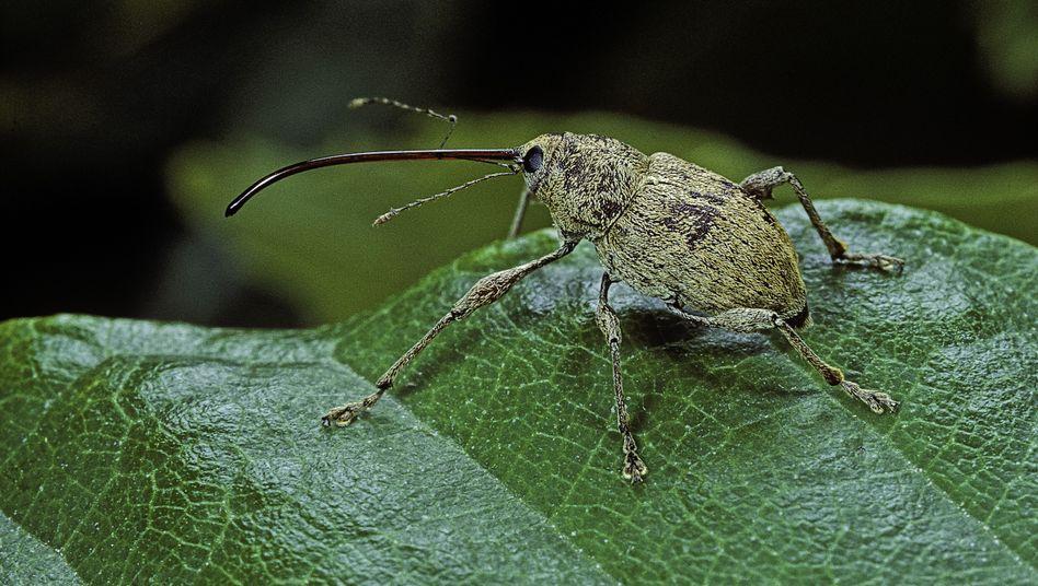 Spezialisierte Käfer: Tiere mit besonderem Beuteschema haben es besonders schwer