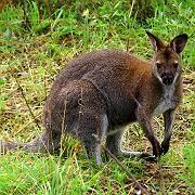 Känguru Skippi: Quicklebendig eingefangen
