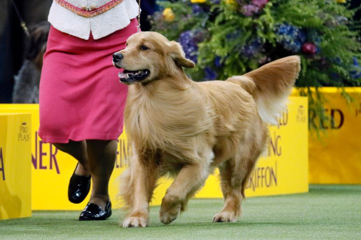 "Publikumsliebling: Golden Retriever ""Daniel"""