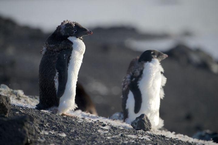 Adelie-Pinguine in der Mauser: Das Rossmeer ist voller Leben