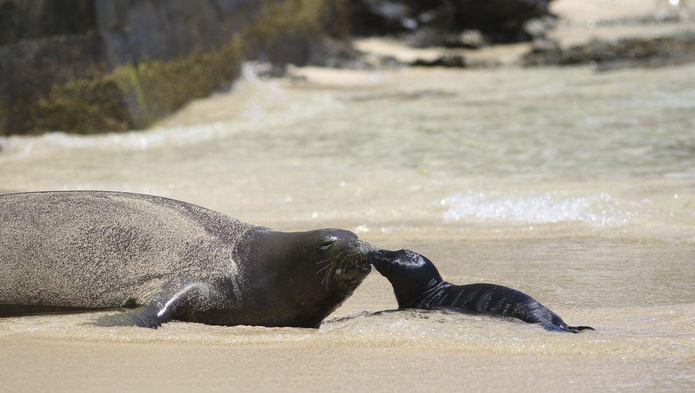 Hawaii-Mönchsrobbe: Geburt am Touristenstrand