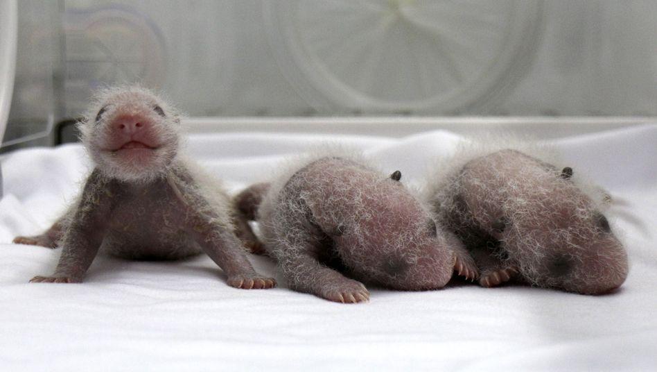 Seltener Zuchterfolg: Panda-Drillinge in China geboren