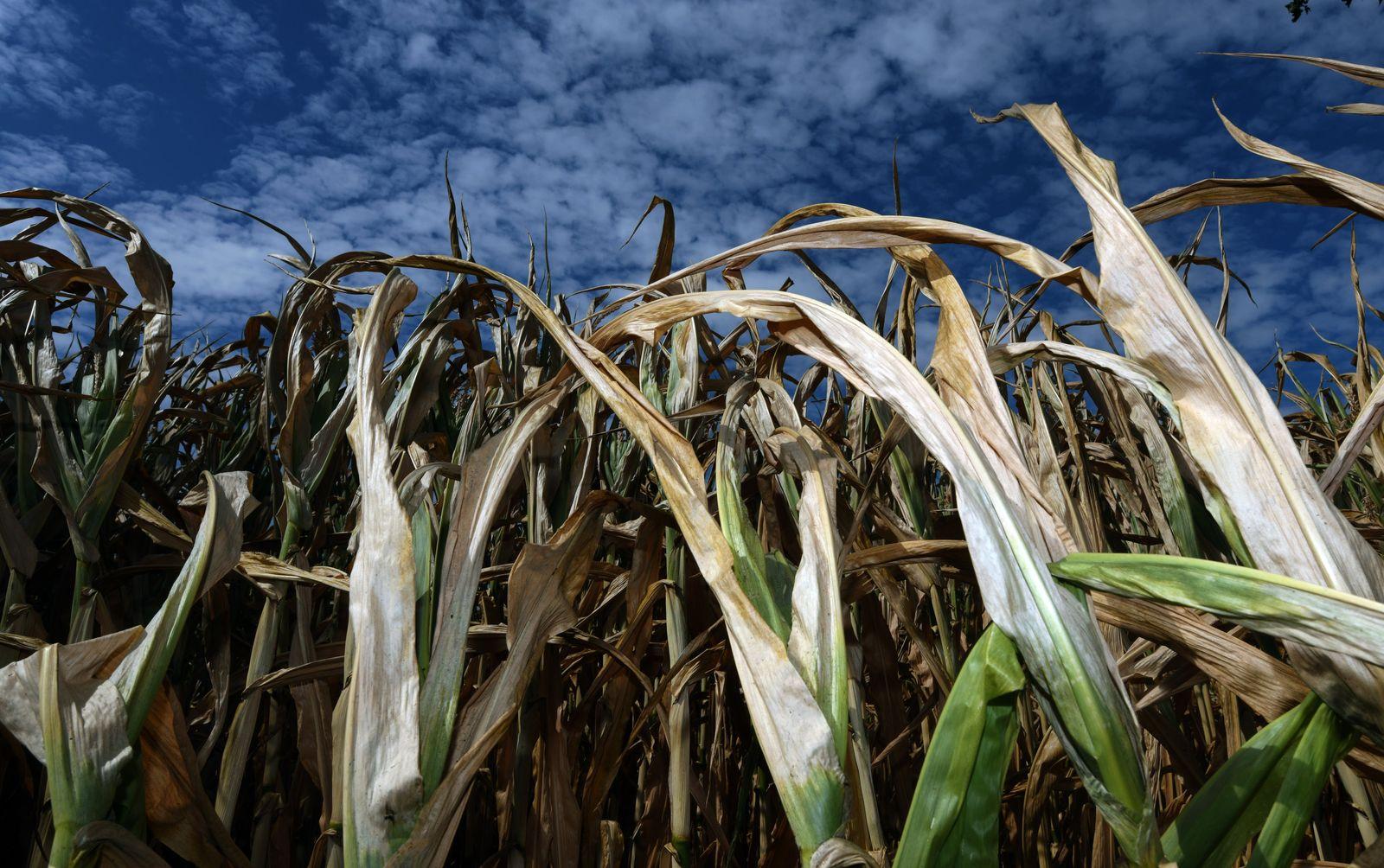 Maispflanzen Dürre