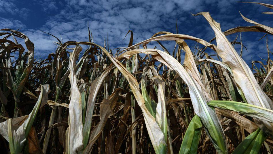 Vertrocknete Maispflanzen auf einem Feld in NRW
