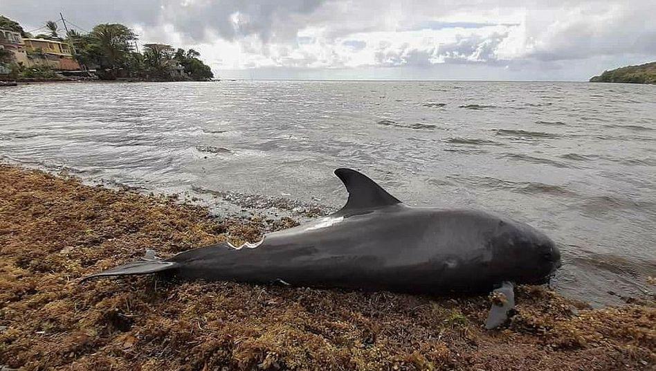 Ein toter Delfin am Strand von Mauritius