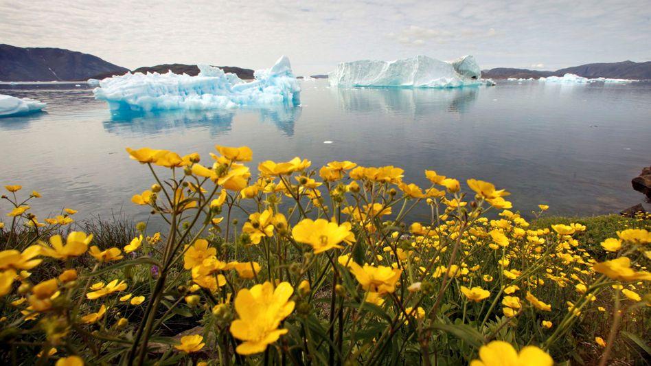 Eine Blumenwiese im grönländischen Sommer (Archivbild)