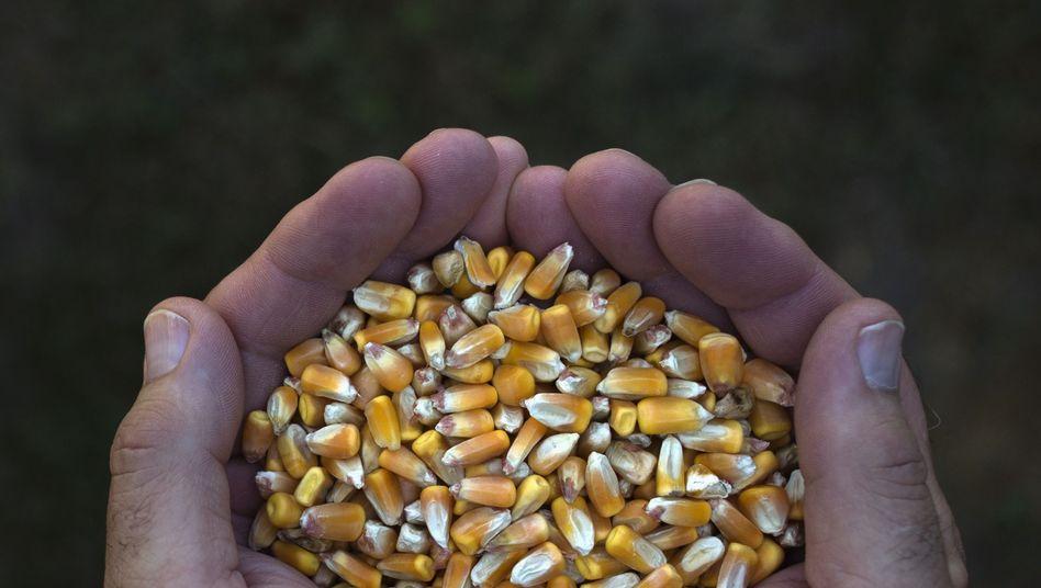 Maiskörner aus US-Ernte: Deutsche Bank verdient weiter an Nahrungsmittelspekulationen