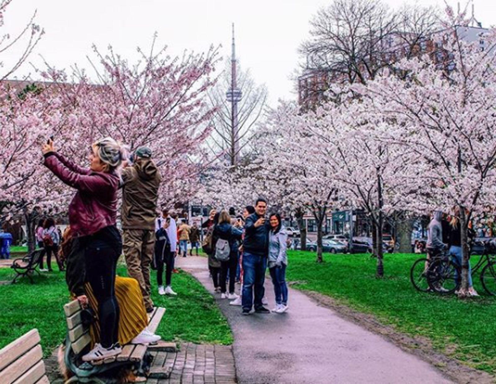 EINMALIGE VERWENDUNG Kirschblüten und Insel-Ausblicke in Toronto